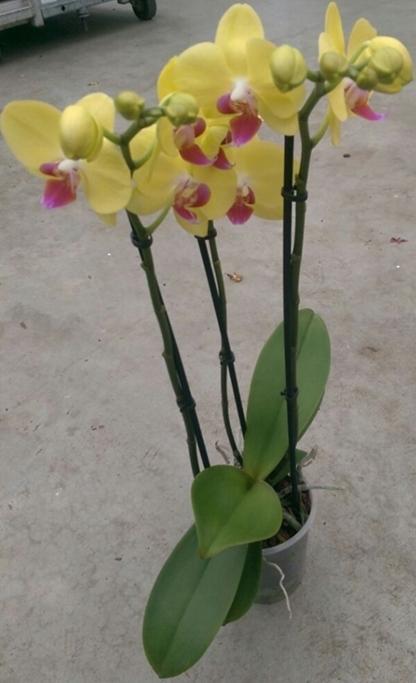 phalaenopsis gelb mindestens 15 bl ten. Black Bedroom Furniture Sets. Home Design Ideas